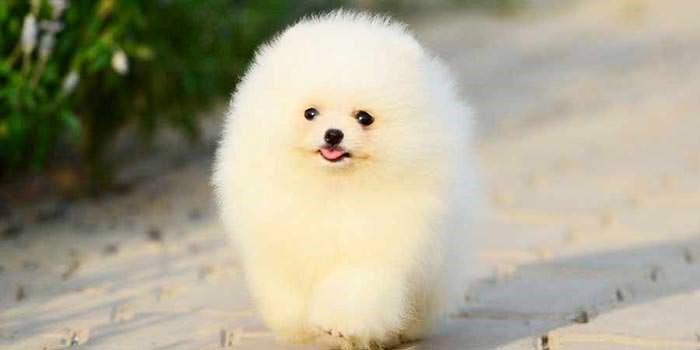 سگ کوچک خانگی